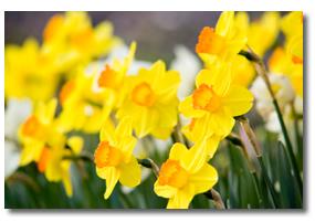 yellow-flowers-organic